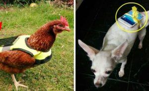 Cách ấp trứng phokemon go bằng gà hoặc chó